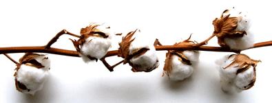 Cotton campaign